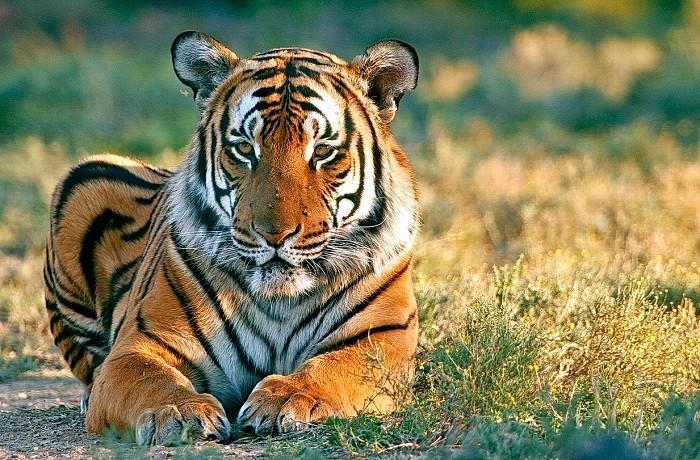 Why Do I Dream of A Tiger Biting Me?-Dreams Interpretation Online
