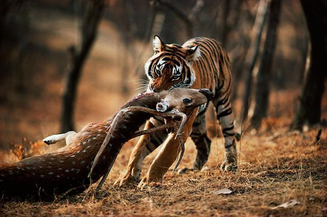 What Does It Mean To Dream of Being Chased By Tiger? -Dreams Interpretation