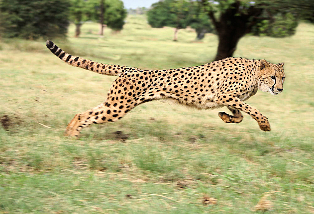 #28 Dreaming of A Leopard- Dream Meaning And Interpretation