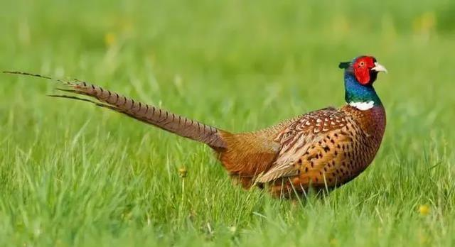 What Does It Mean To Dream of A Pheasant-Dreams Interpretation Online