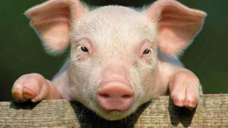 Dreaming of Killing Pigs Is A Good Omen Or Bad Omen?-Dreams Interpretation