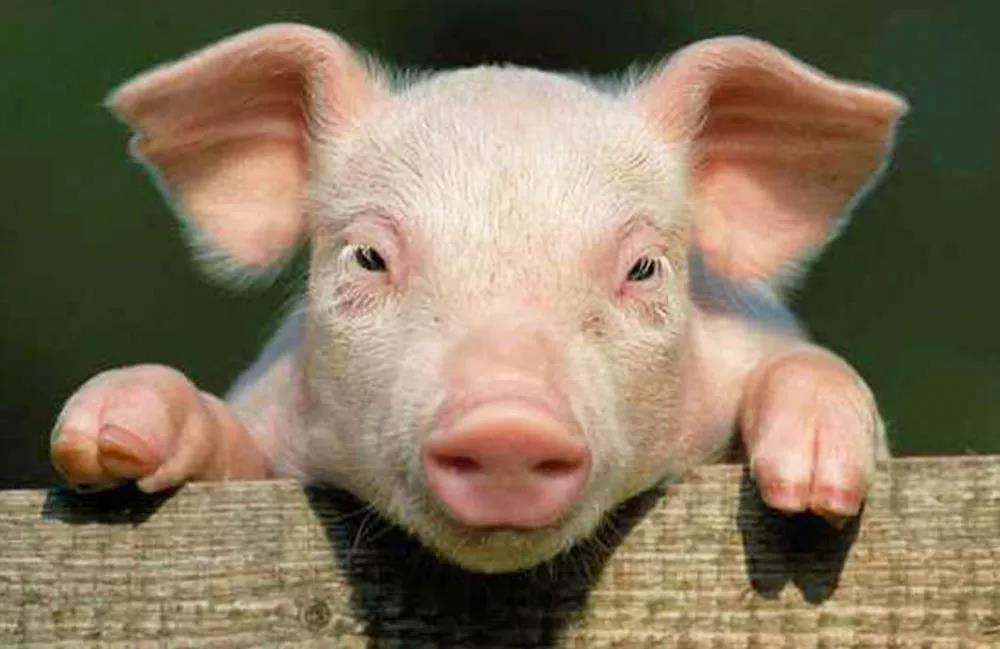 Dream about Pig Biting Me-12 Dreams Meaning and Interpretation