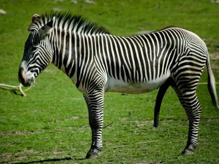 #13 Zebra Dreams Interpretation- Dream Meaning