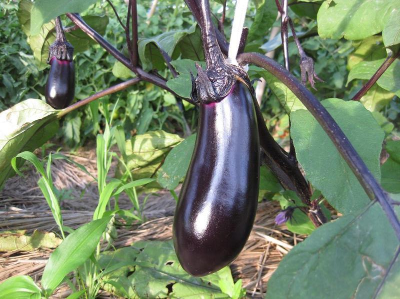 Is Dreaming Of Eggplant A Good Sign?-Dreams Interpretation