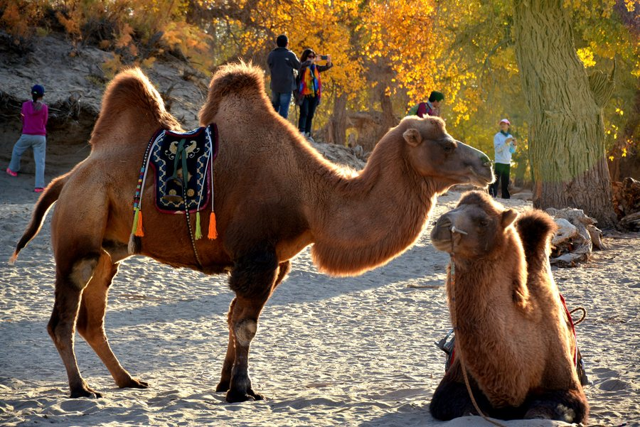What Does It Mean To Dream Of A Camel?-Dreams Interpretation Online