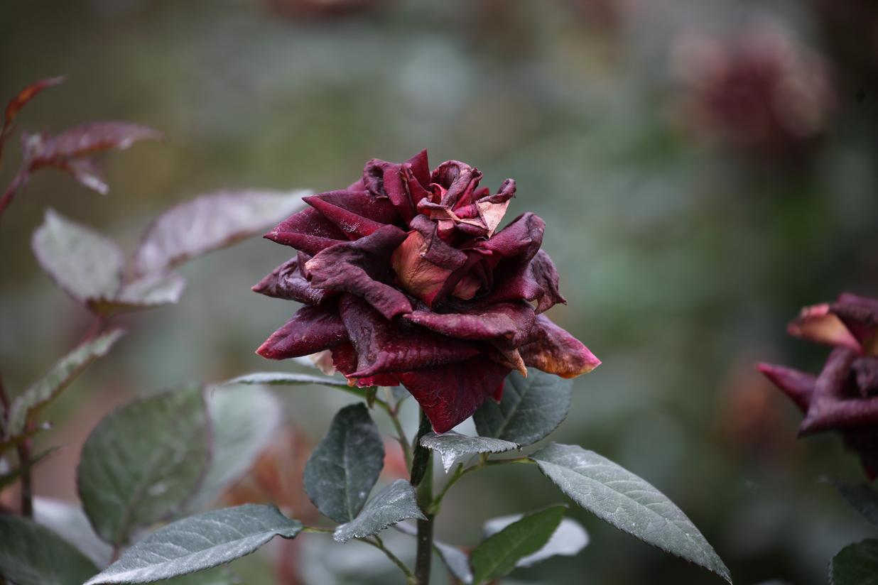 Is It Good or Bad to Dream of Roses Withering?-Dreams Interpretation Online