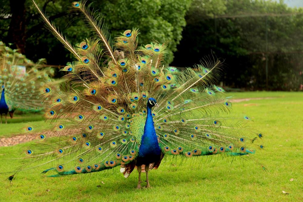 #29 Peacock Dream Interpretation-Dream Meaning and Symbol