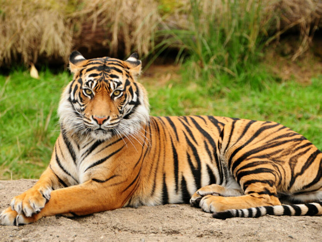 Is It Good or Bad For Pregnant Women to Dream about Tigers?