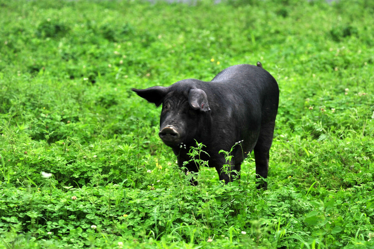 What Does It Mean to Dream of A Black Pig?-Dreams Interpretation