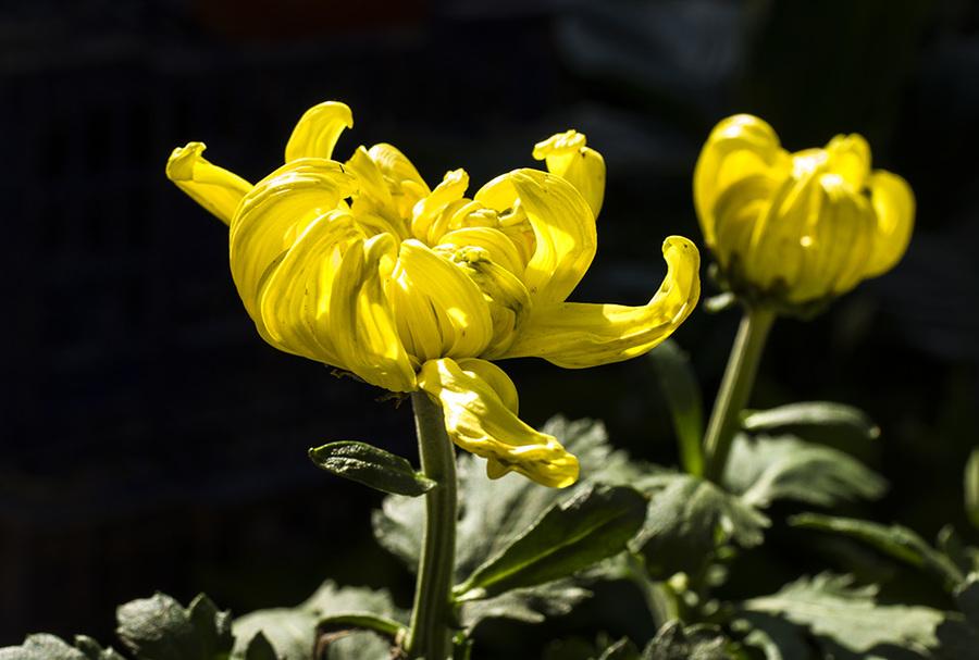 Dreaming of Chrysanthemums Is Good or Bad?-Dreams Interpretation