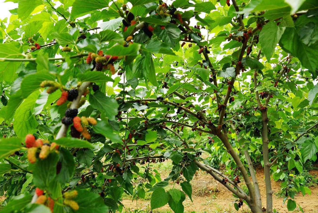 Why Do I Dream of Mulberry Trees?-Dreams Interpretation