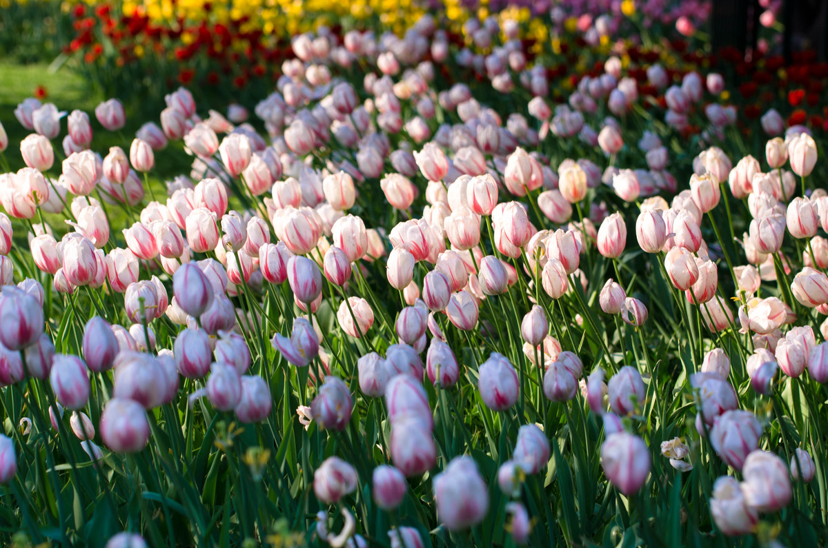 What Does It Mean to Dream of Tulips?-Dreams Interpretation Online
