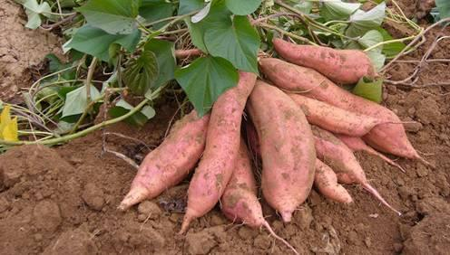 What Does It Mean for A Pregnant Woman to dream about Sweet Potatoes?