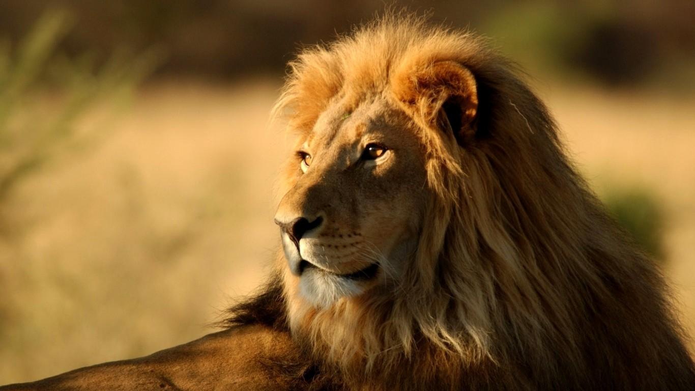 Top 9 Lion Dreams Interpretation-Dream Meaning and Symbol
