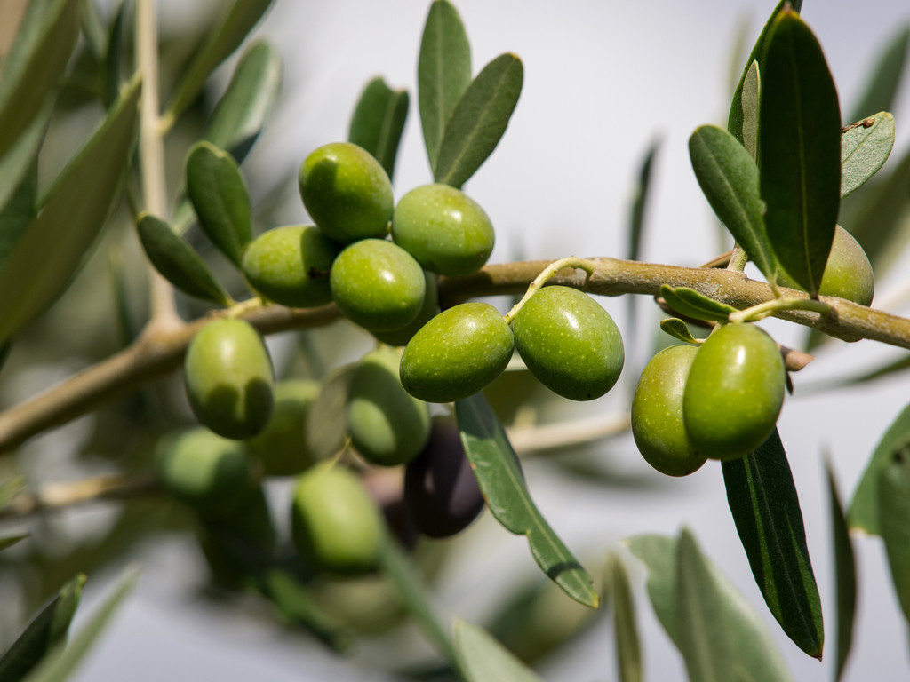 What Does It Mean to Dream of Olives?-Dreams Interpretation