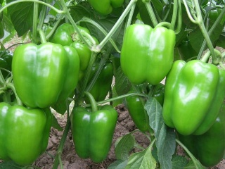 Why Do I Dream of Green Peppers?-Dreams Interpretation Online