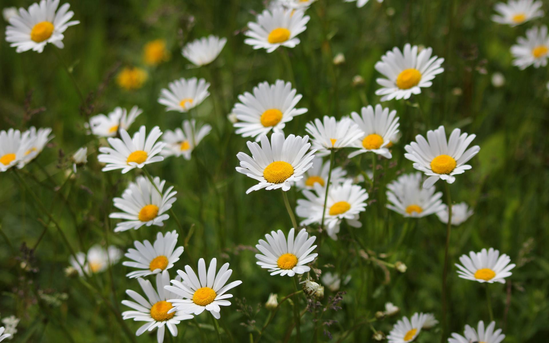 #15 Daisy Dreams Interpretation- Dream Meaning and Symbol