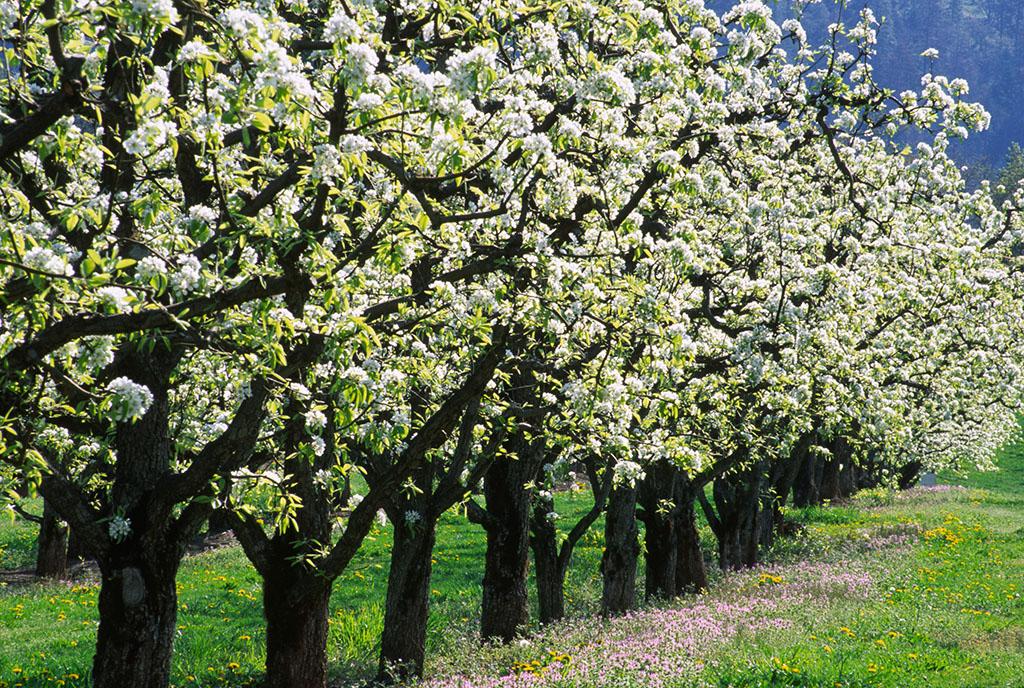 Why Do I Dream of Pear Trees?-Dreams Interpretation Online