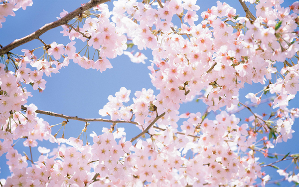 #11 Cherry Blossom Dreams Interpretation- Dream Meaning and Symbol