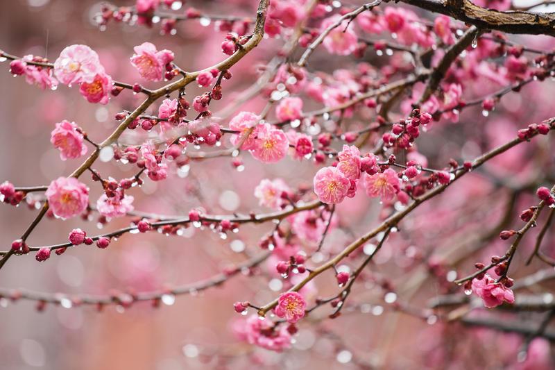 Why Do Pregnant Women Dream of Plum Blossoms?-Dreams Interpretation