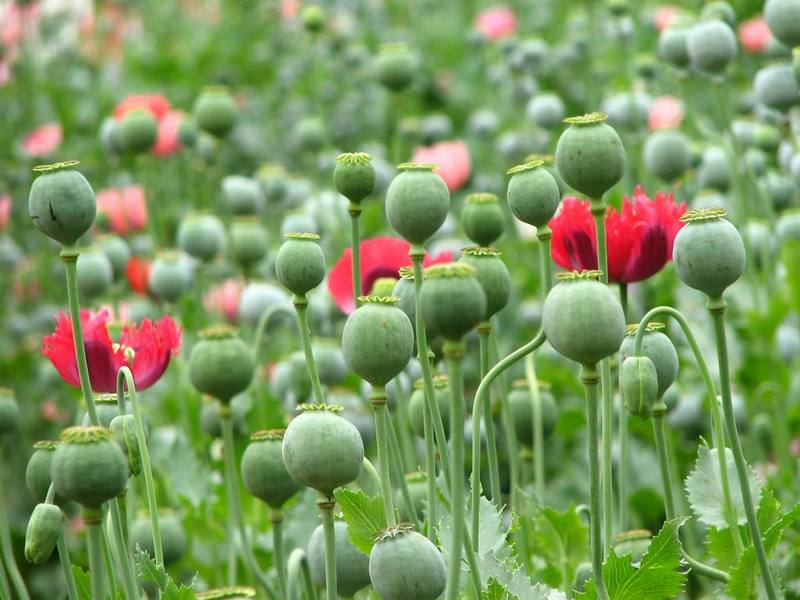 What Does It Mean To Dream of Poppies?- Dreams Interpretation