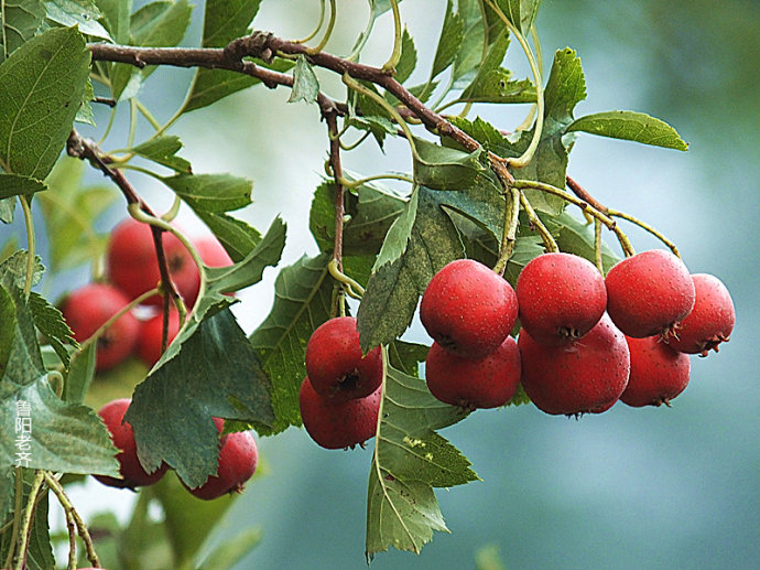 What Does It Mean to Dream of Hawthorn?-Dreams Interpretation Online