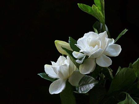 #15 Gardenia Dreams Interpretation- Dream meaning and symbol