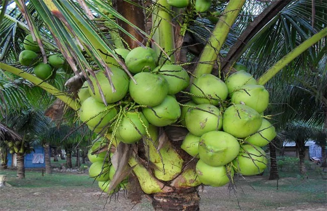 What Does It Mean to Dream about Coconuts?-Dreams Interpretation