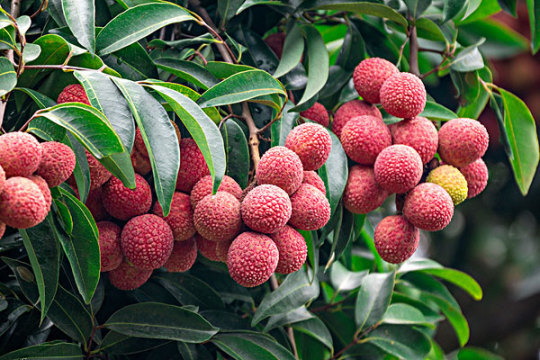 What Does It Mean to Dream of Lychees?-Dreams Interpretation