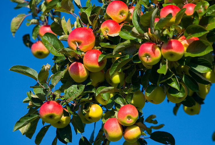 What Does It Mean to Dream of An Apple Tree?-Dreams Interpretation Online