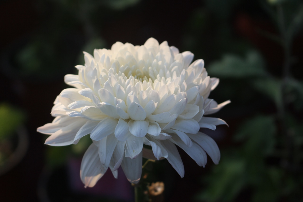 What Does the White Chrysanthemum Symbolize in The Dream?